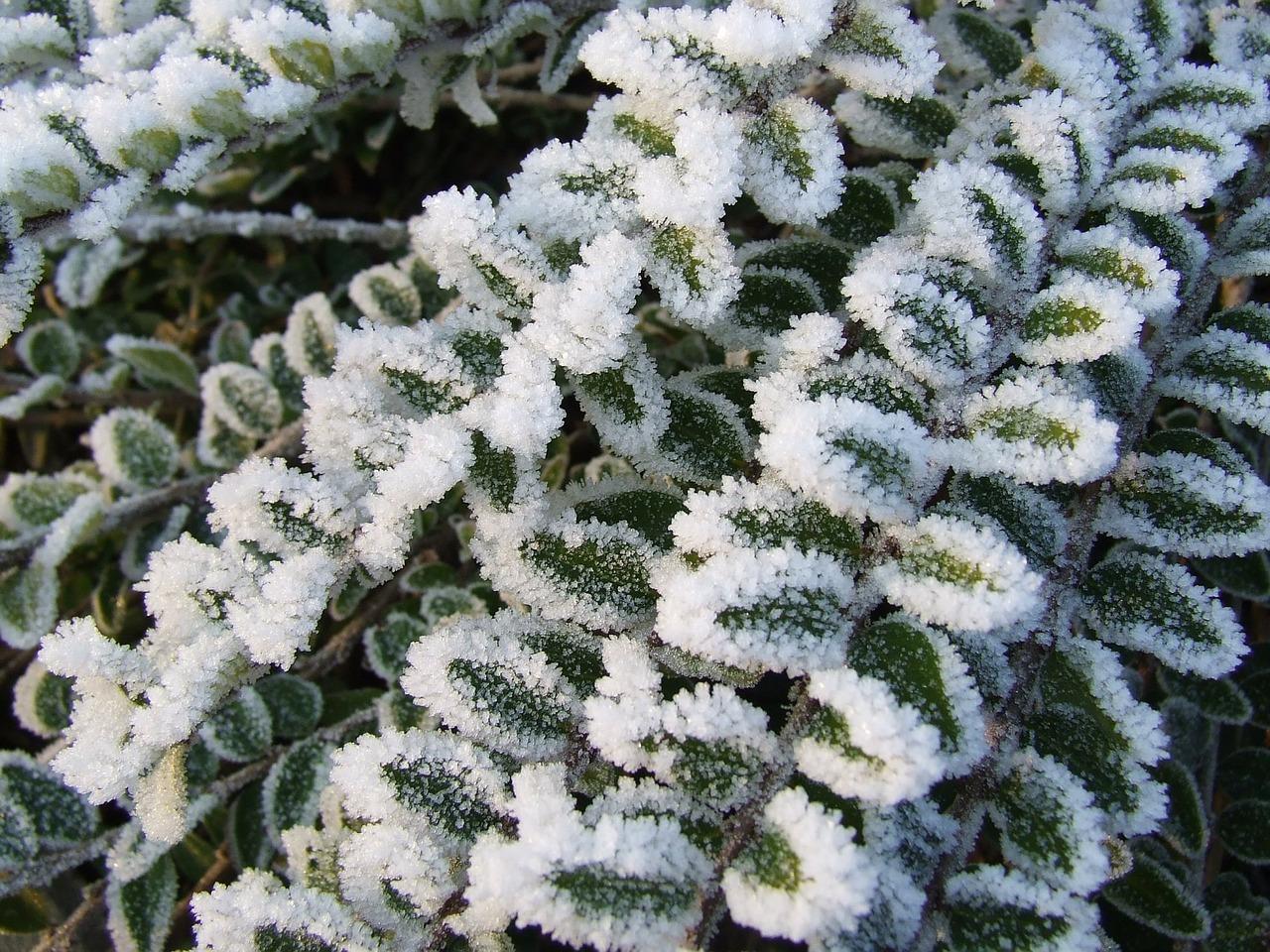 Frost Eis Pflanzen Kräuter Gemüse Gewächshaus
