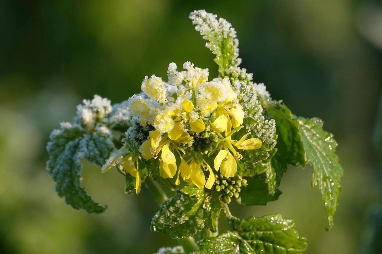 Gelber Senf Pflanze Kräuter Frost Bodenfrost Winter