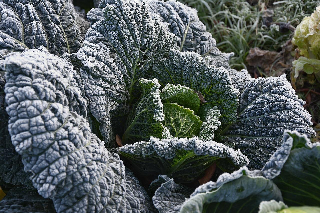 Gewächshaus Frost Kohl Gemüse
