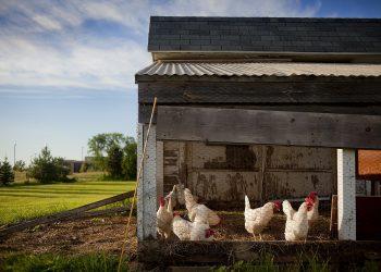 Heizung für Hühnerstall | Heizen im Winter mit/ohne Strom