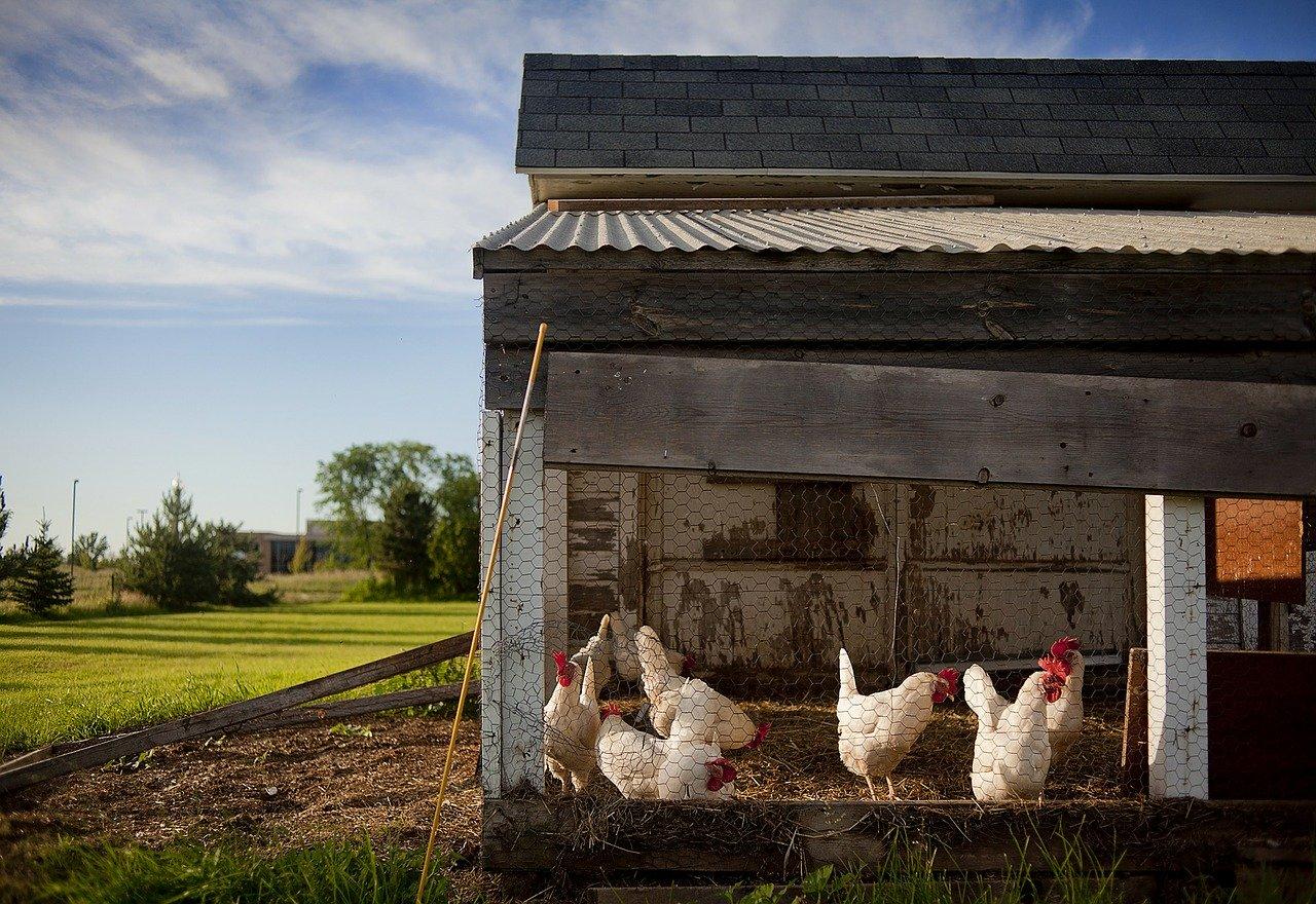 Hühnerstall Garten Hühner Wiese
