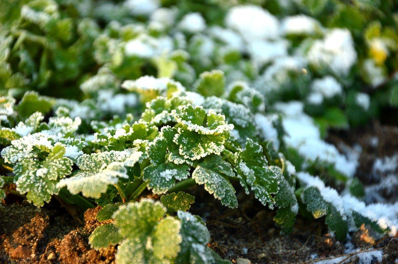 Petersilie Kräuter überwintern Frost