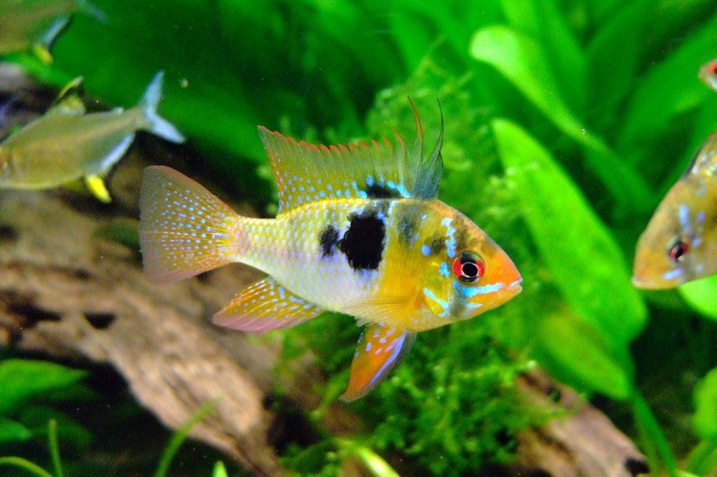 Aquarium Pflanzen Unterwasserwelt Fisch Barsch