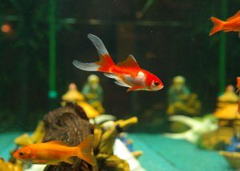 Welche Fische brauchen keine Heizung / Heizstab im Aquarium?