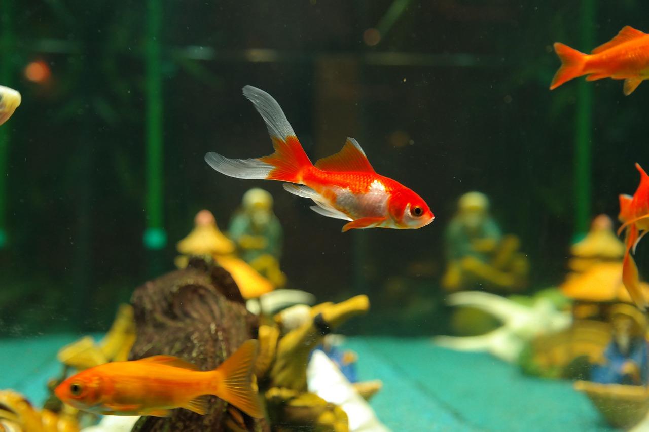 Fisch Goldfisch Kaltwasserfisch Aquarium