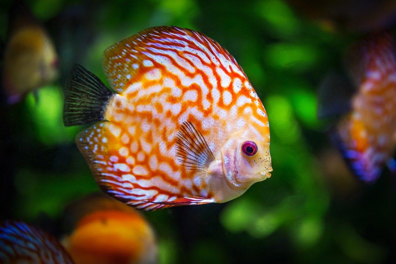 Fische Wasser Aquarium Diskus Pflanzen