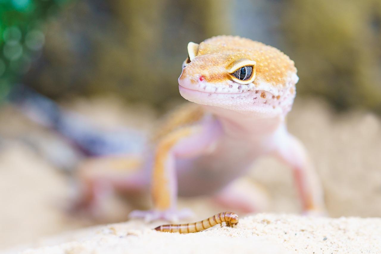 Reptil Terrarium Echse Gecko