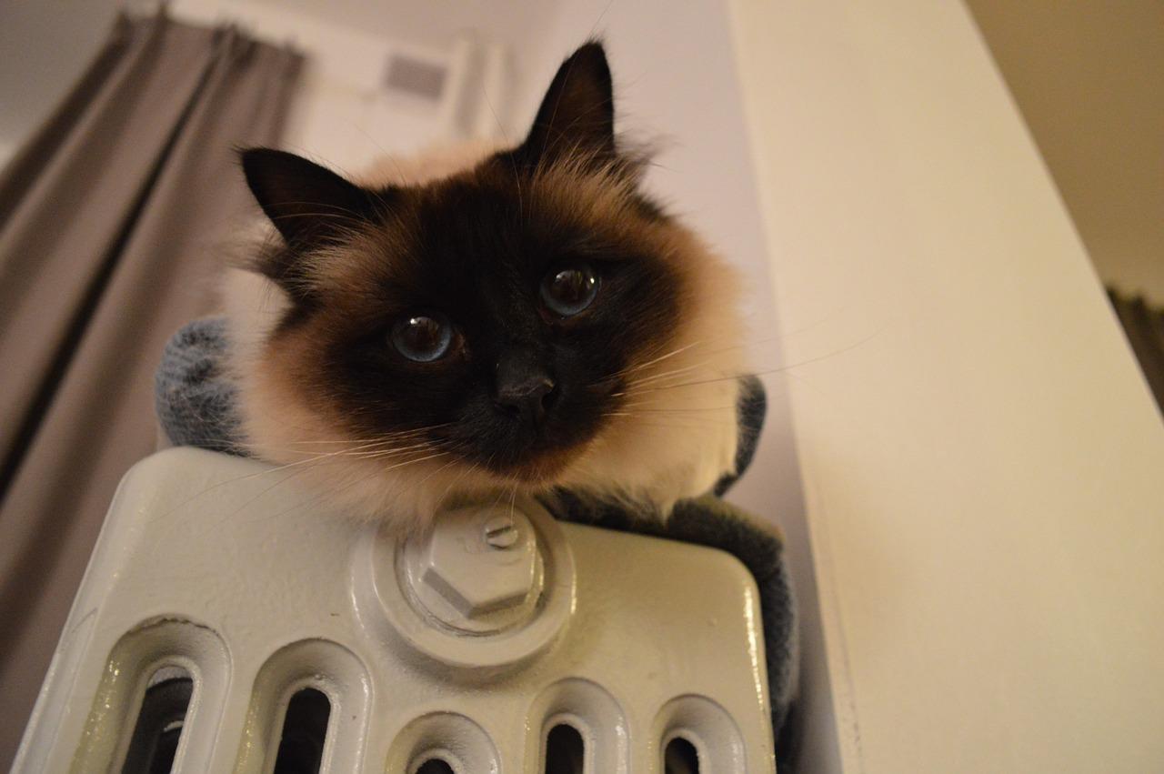 Heizkörper Heizung Katze Haustier