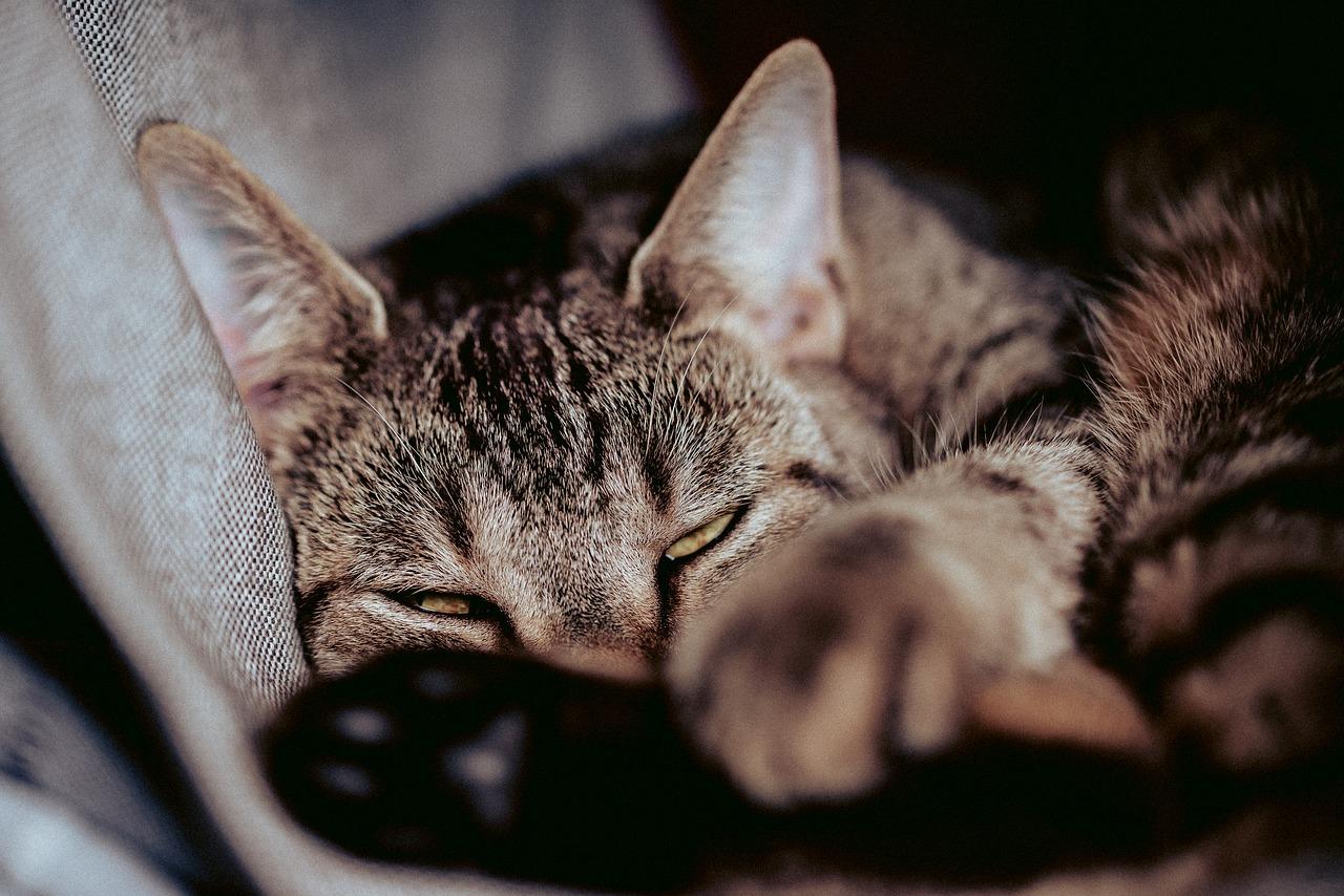 Katze schläft Haustier