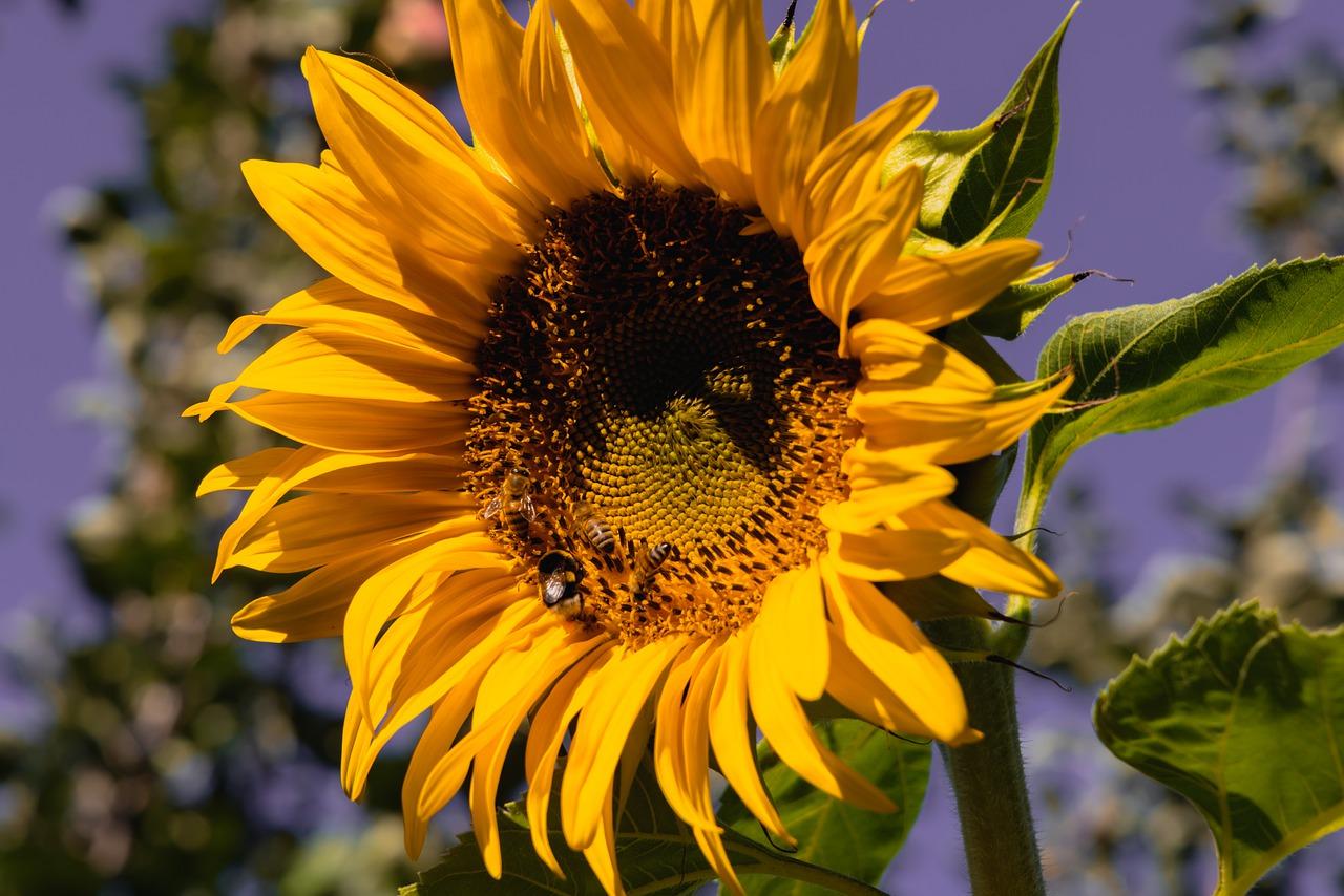 Sonnenblume Sommer